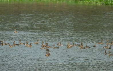 A group of migratory birds at Akhura lake in Agartala. TIWN Pic April 18