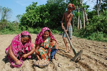 Farmers busy with potato cultivation at Jaipur area, outskirts of Agartala.TIWN Pic Oct 31