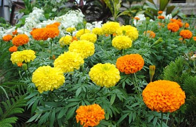 Marigold flowers blooming at Agartala. TIWN Pic Oct 27