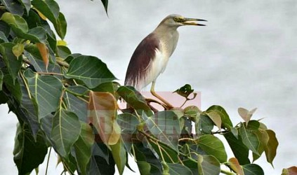 Crane resting on a tree branch at Agartala. TIWN Pic July 26
