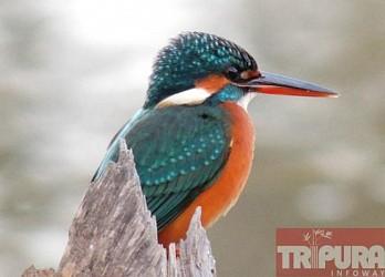 Kingfisher eyeing to catch fish at Pratapgarh. TIWN Pic Feb 11
