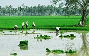 Rains boost paddy sowing in Jharkhand