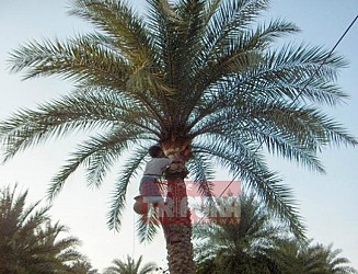 A man collecting juice from a palm tree at Agartala. TIWN Pic Nov 18