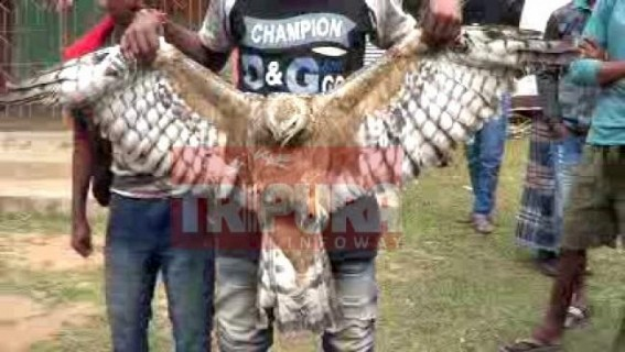 Falcon recovered at Gokulnagar