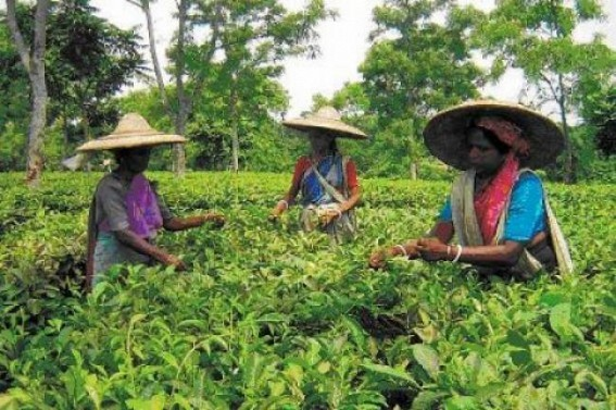 Wages of Tripura Tea garden Workers not increased amid High Court's order
