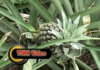 Organic Pineapple Production and Processing in Tripura